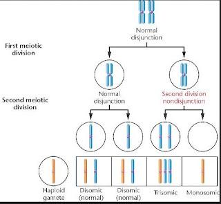 http://www.scienzita.it/lezioni/biologia/mutazioni_nondisgiunzioneII.jpg