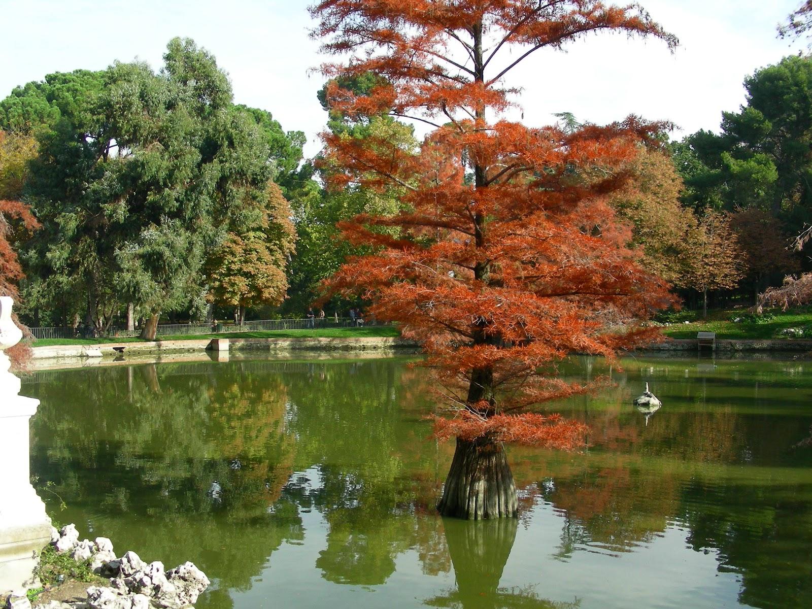Rboles de madrid el gato por las ramas cipr s calvo for Arbol rojo jardin