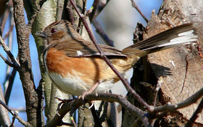 Photo of Eastern Towhee in tree branches