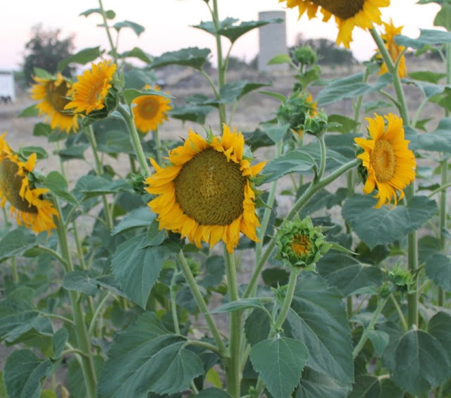 are sunflowers easy to grow