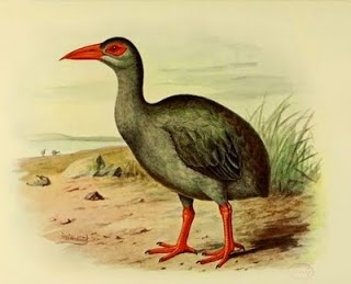 Aphanapteryx leguati Rascon de Rodrigues