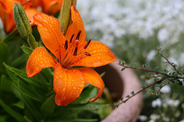 Close up Photo of an orange lily with rain droplets on it by Jordanne lee creative