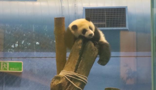 Yuan Zai - Taipei Zoo - Pandas