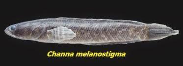 Channa melanostigma