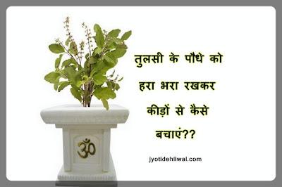 तुलसी के पौधे को हरा भरा रखकर कीड़ों से कैसे बचाएं??