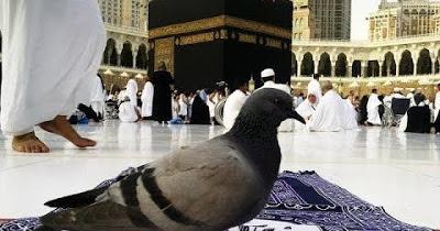 صورة لحمامة تقف على أرض المسجد الحرام بجانب الكعبة المشرفة