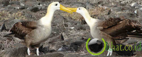 Sepasang Albatross
