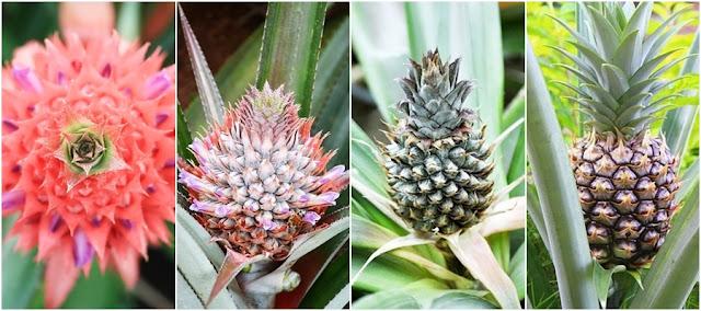 Plantar abacaxi e cultivo