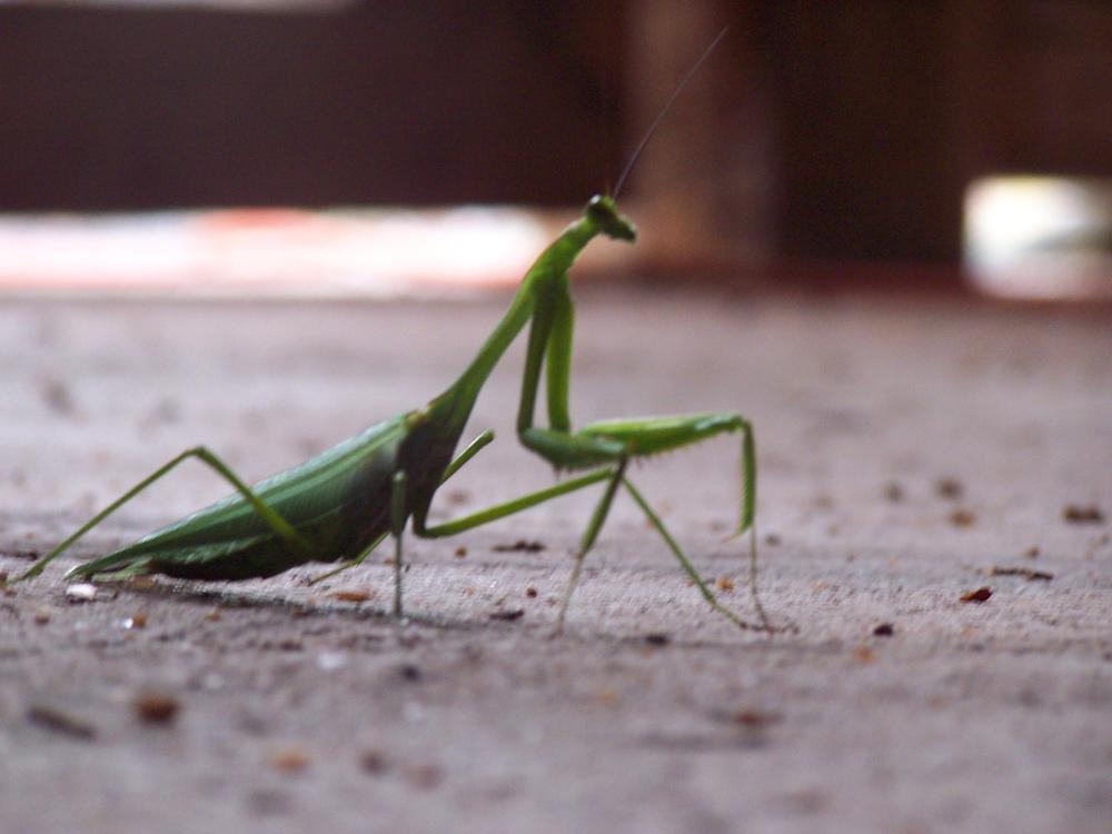Wallpaper Sea: praying mantis