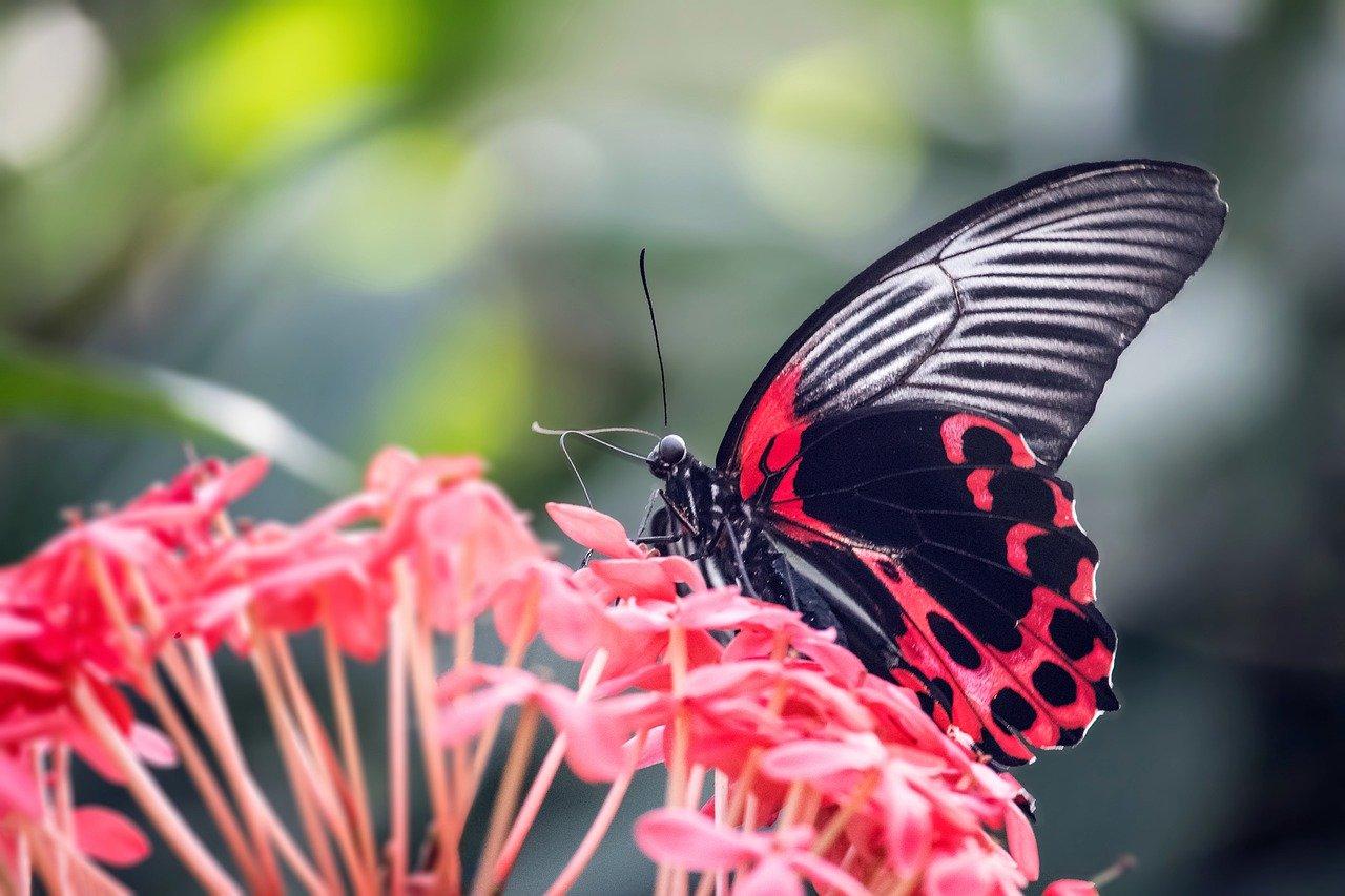 borboleta preta e vermelha pousando em uma flor