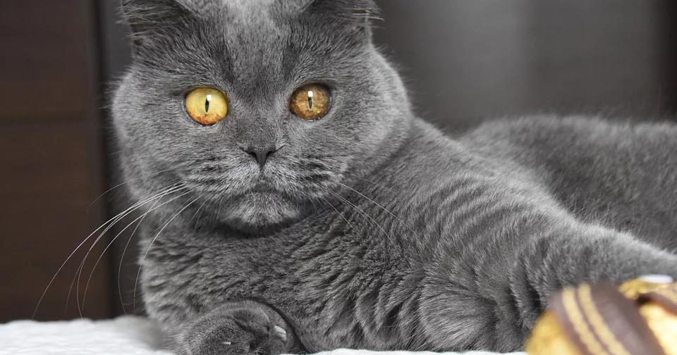 Sedikit Yang Tahu 8 Fakta Kucing British Shorthair