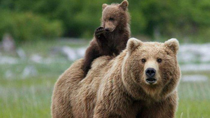 Beruang Grizzly, hewan yang bisa mendengar suara infrasonik, hewan yang bisa mendengar bunyi infrasonik, contoh hewan yang bisa mendengar bunyi infrasonik, hewan apa yang bisa mendengar bunyi infrasonik, beruang grizzly vs beruang kutub, beruang kodiak, beruang grizzly vs harimau, beruang grizzly terbesar di dunia, beruang grizzly raksasa, makanan beruang coklat, jenis jenis beruang, beruang indonesia