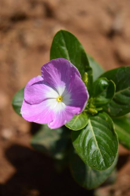 catharanthus roseus, madagascar periwinkle, vinca, small sunny garden, garden bloggers bloom day, amy myers, desert garden