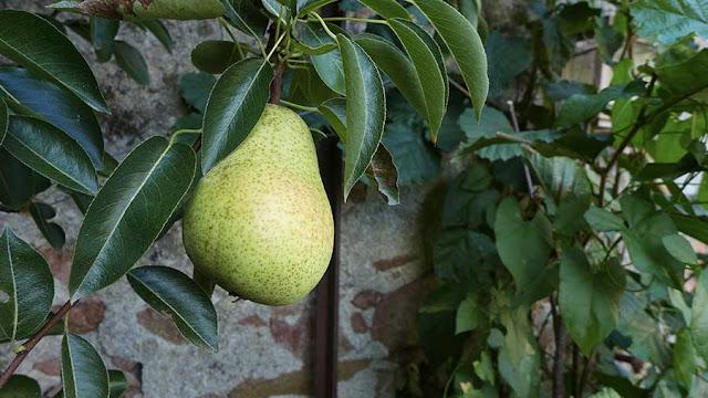 poires dans le jardin