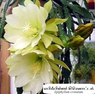 Epiphyllum crenatum flower