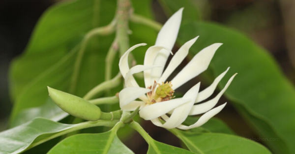 Ciri Ciri Pohon Cempaka Putih / Kantil (Magnolia × alba) Di Alam Liar -  Ciriciripohon.com