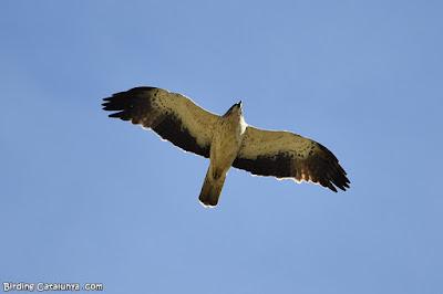 Àguila calçada de morfo clar (Hieraaetus pennatus)