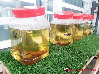 Hobi Bela Ikan Betta