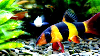 Clown Loach Community Aquarium 4K HD Wallpaper