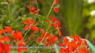 Ivy Geranium