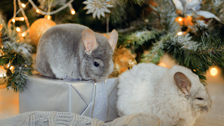 how to take care of a baby chinchilla