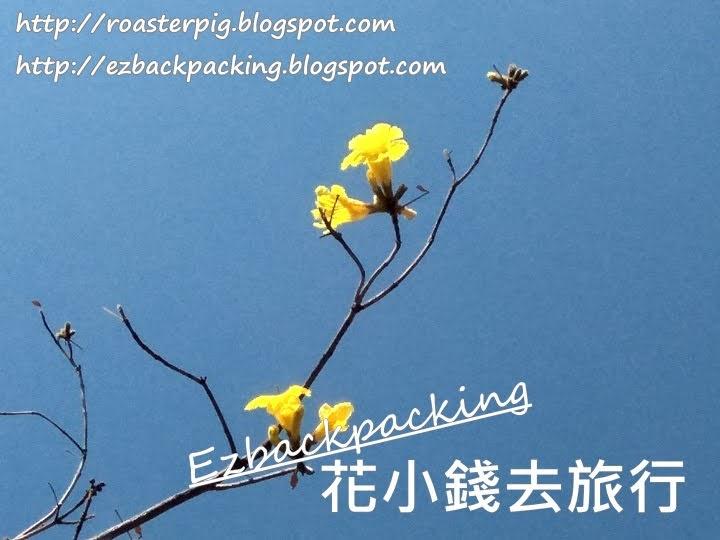 香港黃花風鈴木