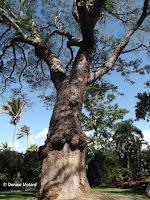 Earpod tree, Foster Botanical Garden - Honolulu, HI