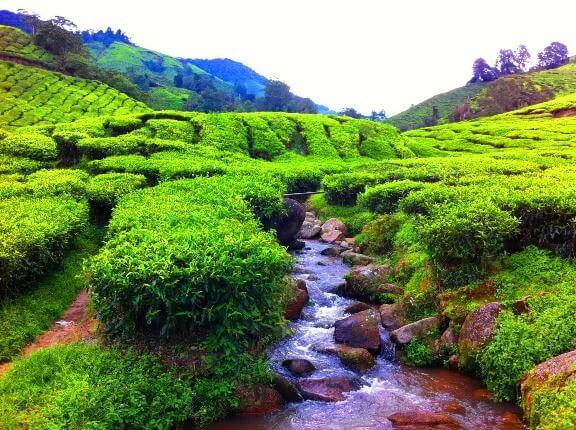 ladang teh sungai palas cameron highland