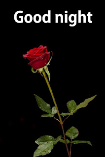 good night red rose flowers