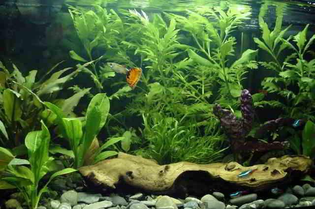 Gambar Aquarium Ikan MasKoki