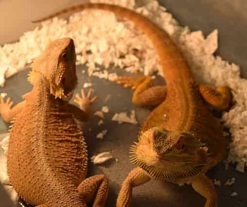 Types of bearded dragon