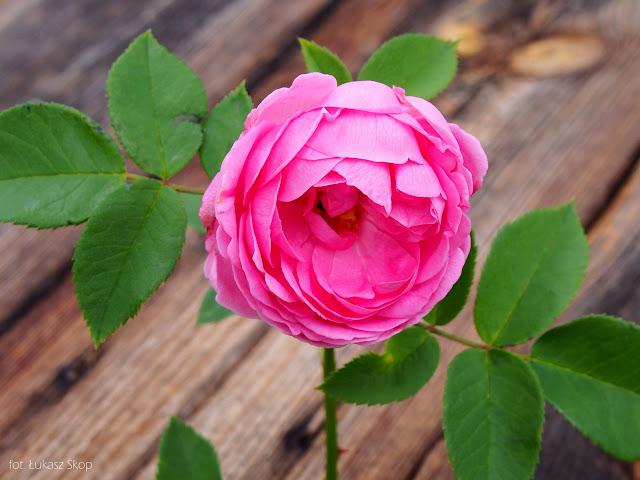 jadalne kwiaty róży