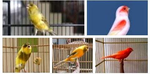 http://tips-panduan-lengkap.blogspot.com/2015/02/perawatan-harian-agar-burung-kenari-rajin-berkicau-gacor-ngerol.html