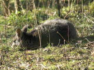 Macropus eugenii - Wallaby de l'île Eugène