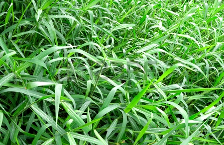pyara grass image