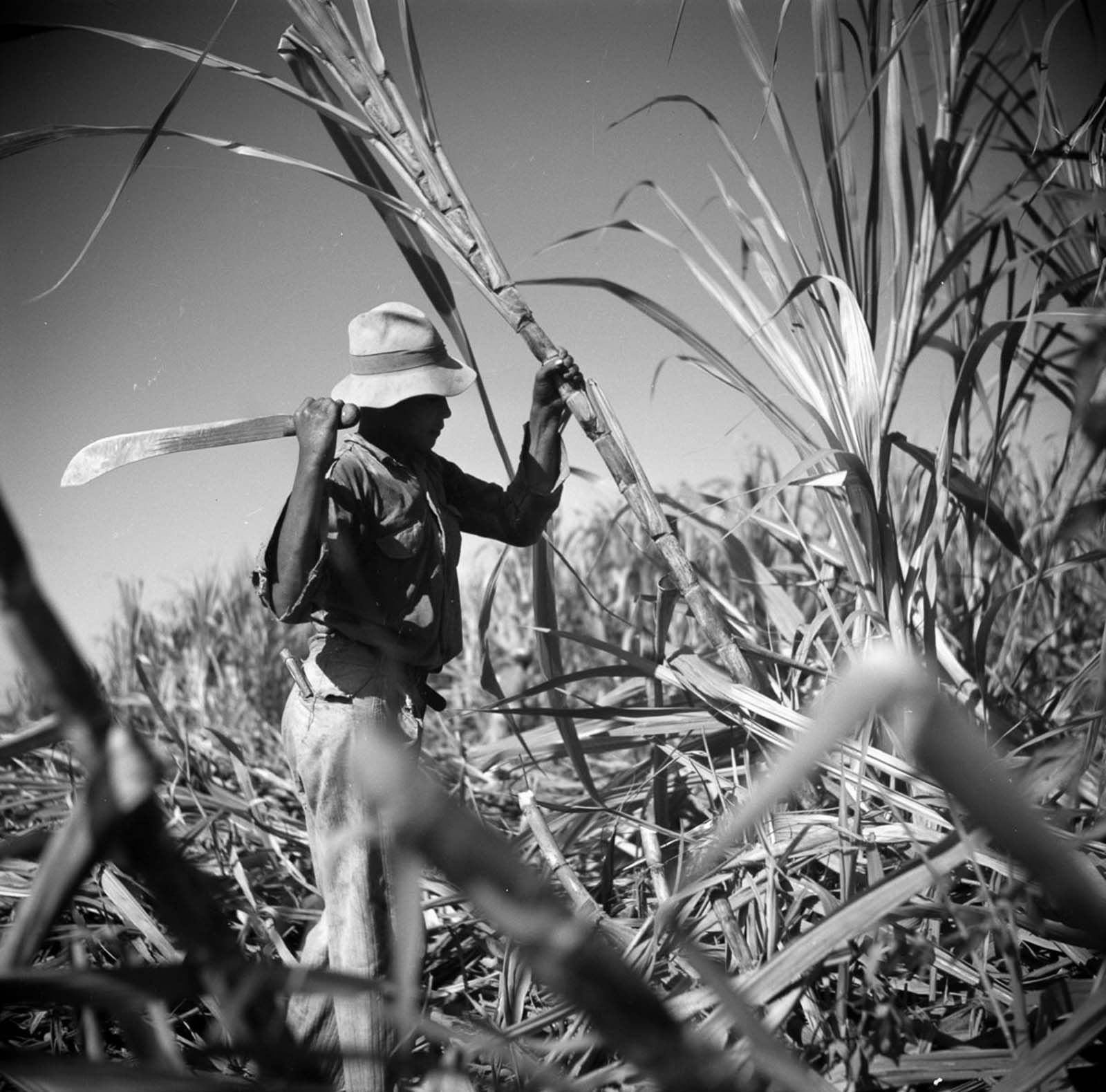 A worker cuts sugarcane on a plantation.