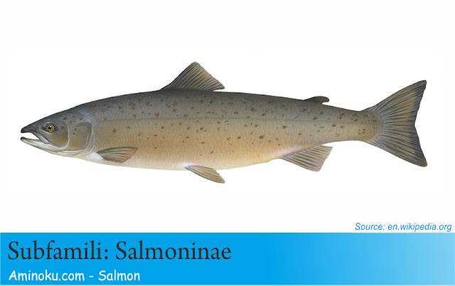 Fakta unik ikan salmon