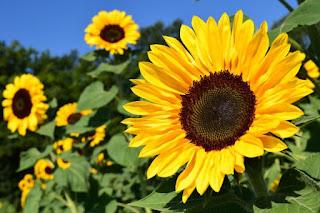 jual-benih-bunga-matahari.jpg