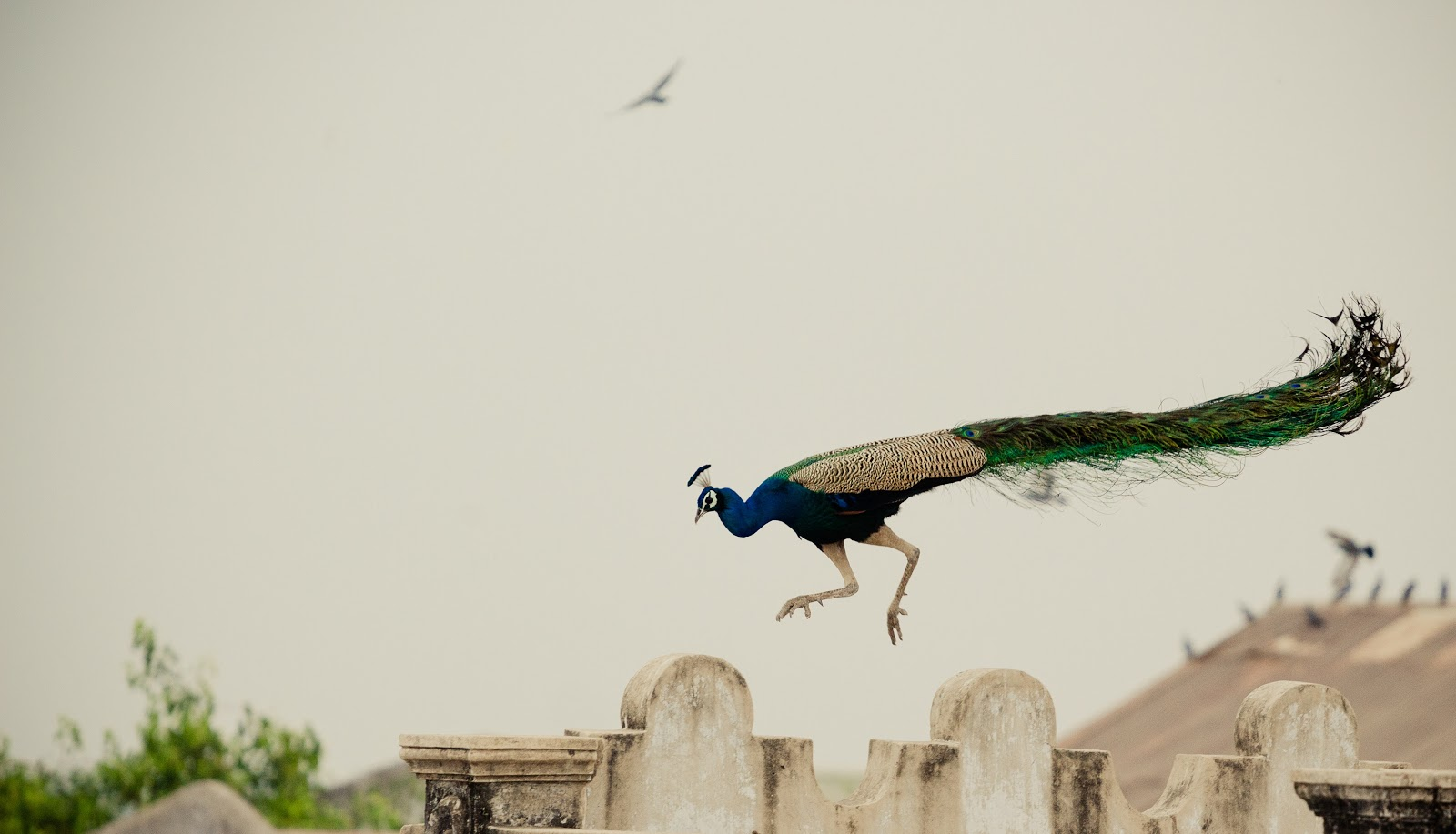 peacock-flying-above-concrete-surface-images