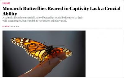 https://www.theatlantic.com/science/archive/2019/06/hand-reared-monarch-butterflies-dont-migrate/592423/