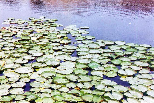 Lotus at Surajkund reservoir