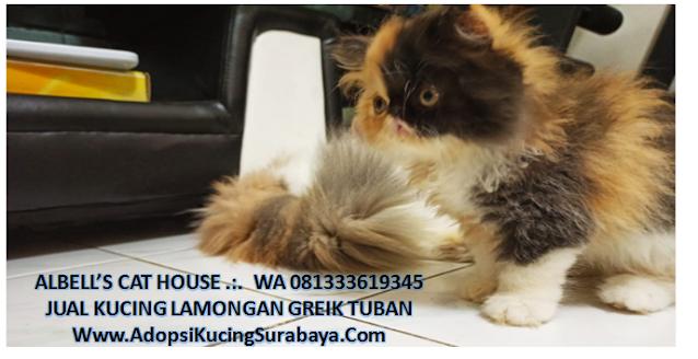 Jual Kucing Ras Persia di Lamongan Gresik Tuban