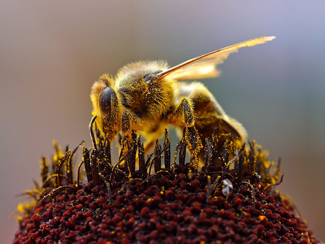 Bees give up searching for food when we degrade their land