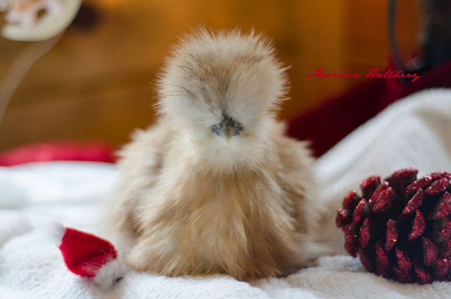 Silkie chicken Christmas picture