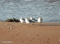 Four sanderlings sleeping with one eye open, Brackley Beach, PEI, by Denise Motard