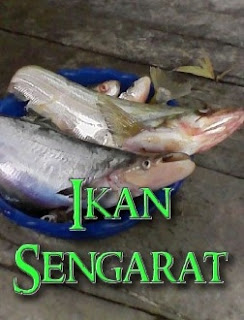 mancing ikan sengarat dengan anak ikan