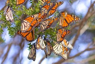 serumpun kupu-kupu cokelat terbang