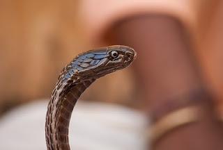 Ular beracun kobra