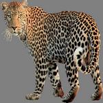 leopard in spanish