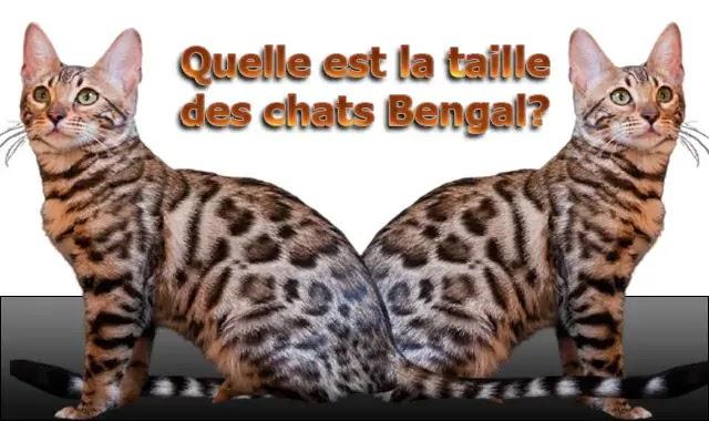 Quelle est la taille des chats Bengal